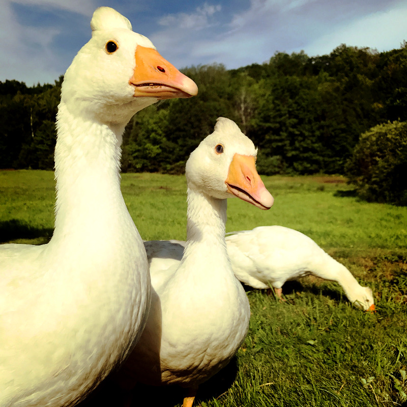 farm poultry geese