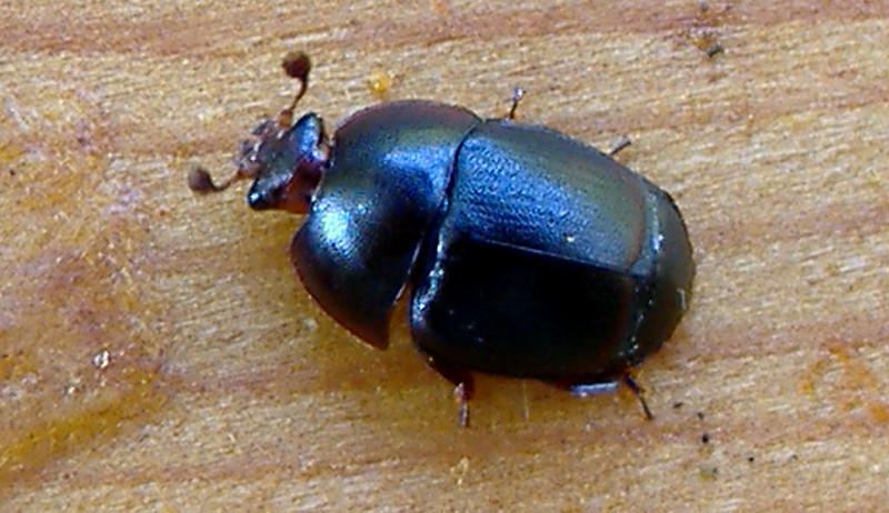 small hive beetle