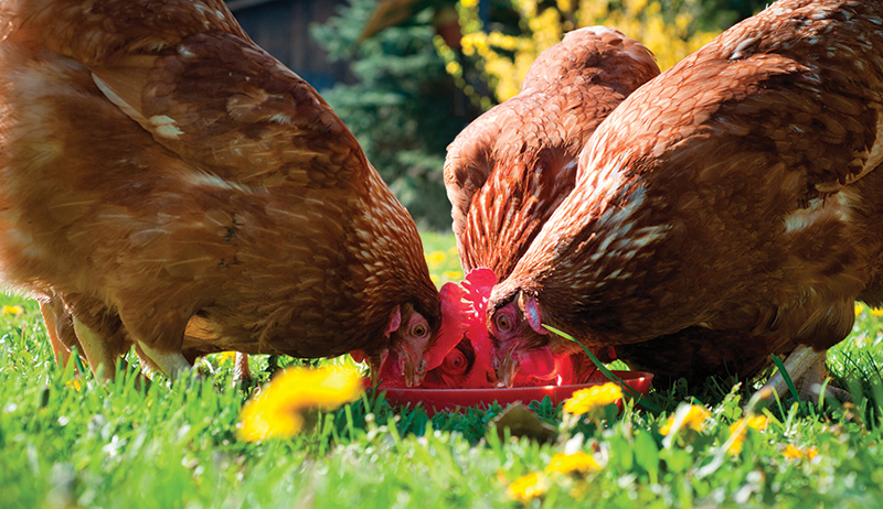 homeopathy chickens health