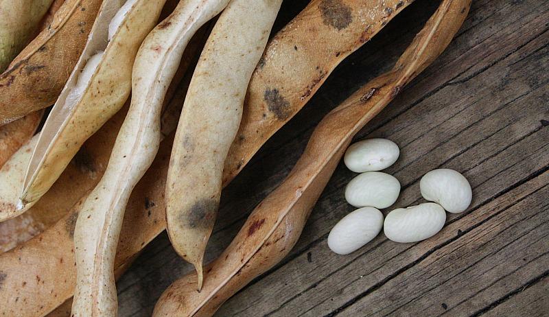threshing dry dried beans
