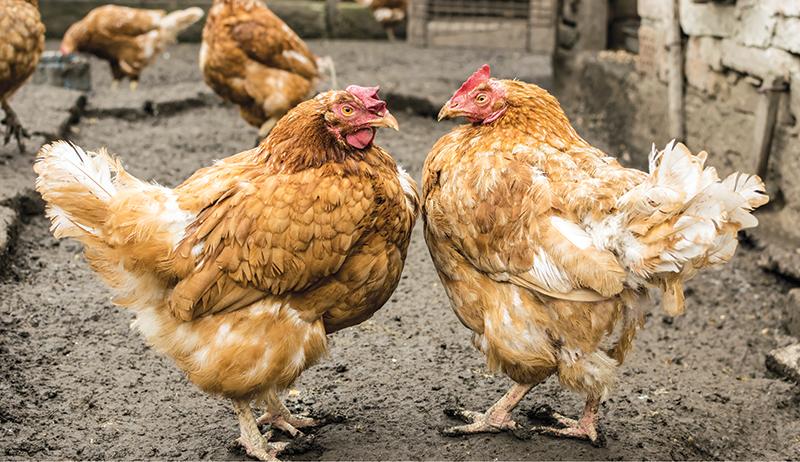 pecking order chicken behavior