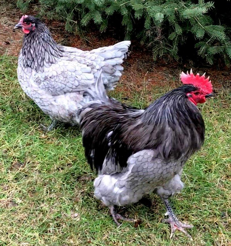 chicken farewell