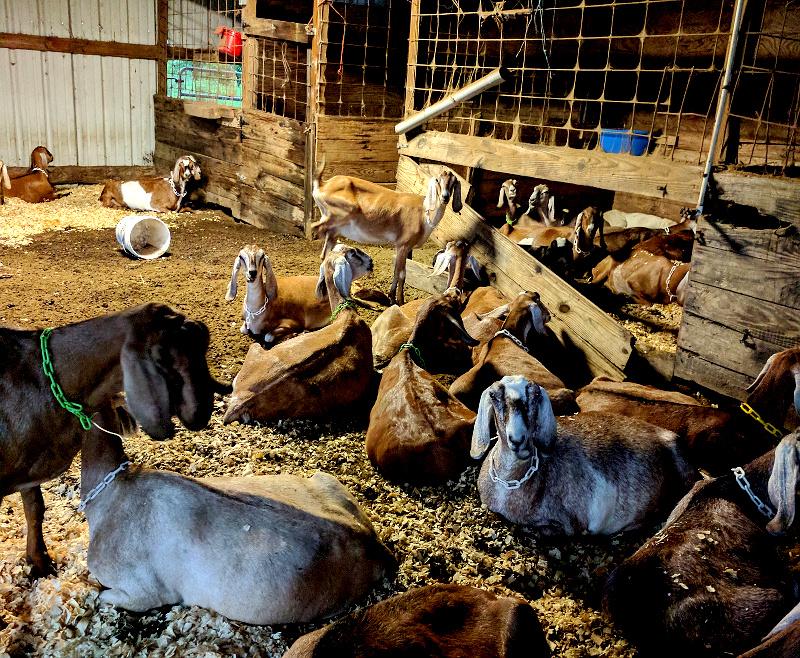 goats flooding