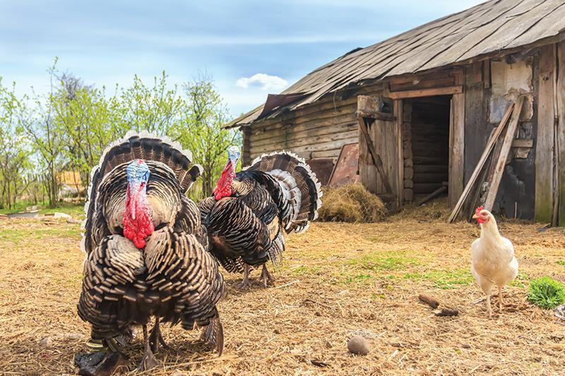 adding livestock turkeys
