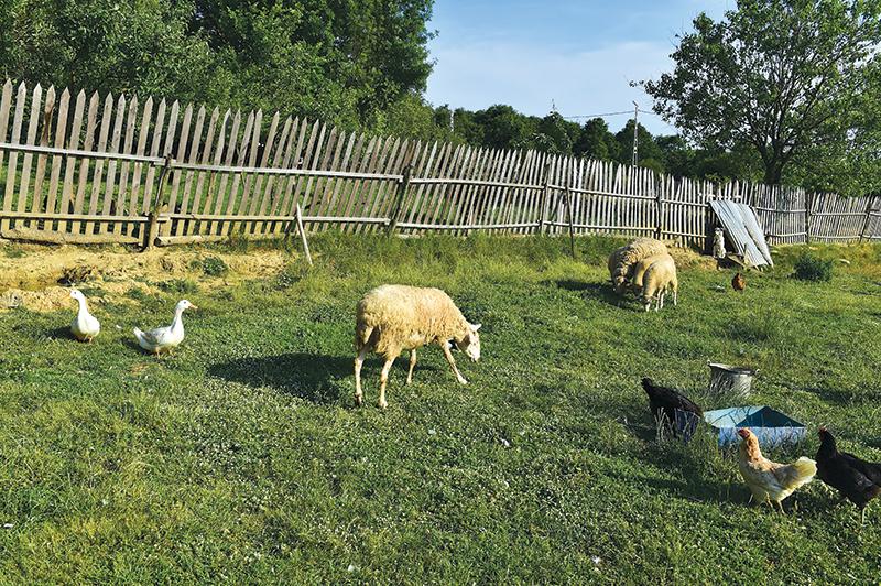 adding livestock sheep