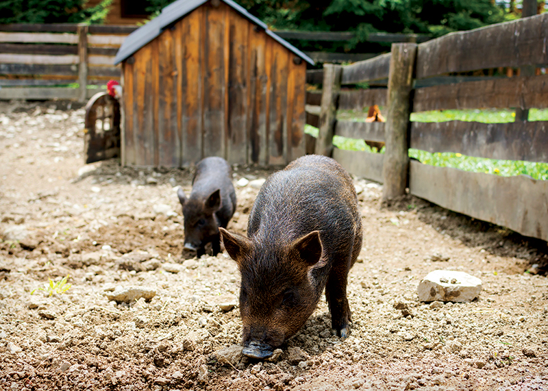 adding livestock pigs
