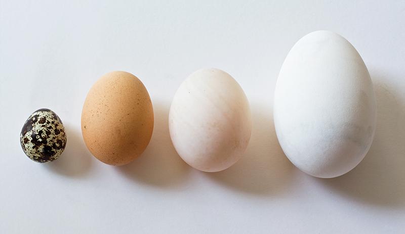 quail chicken duck goose egg eggs