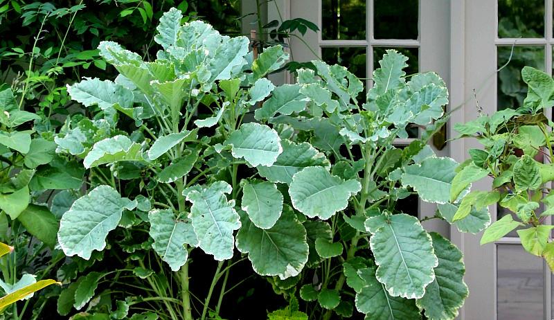 unusual kale varieties