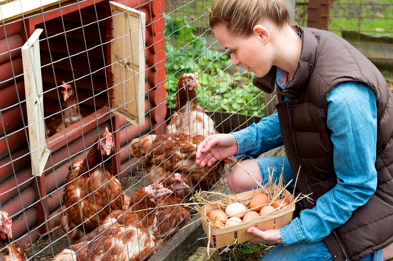 anxiety chickens love poultry farming