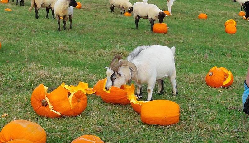 livestock pumpkin pumpkins