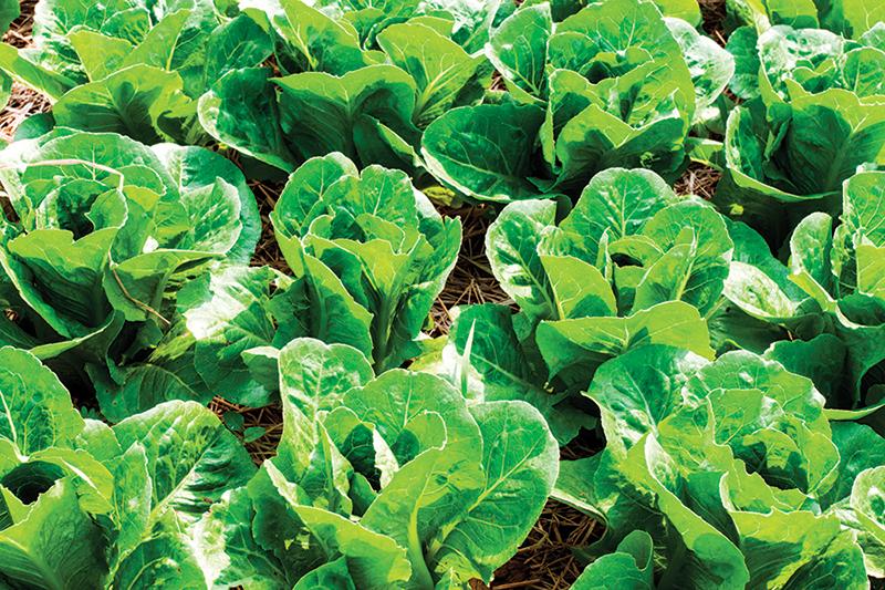 market crops lettuce