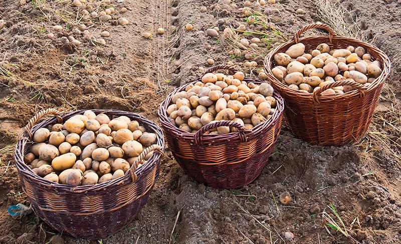 market crops potatoes