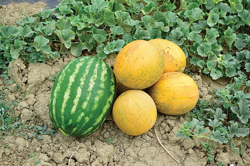market crops melons