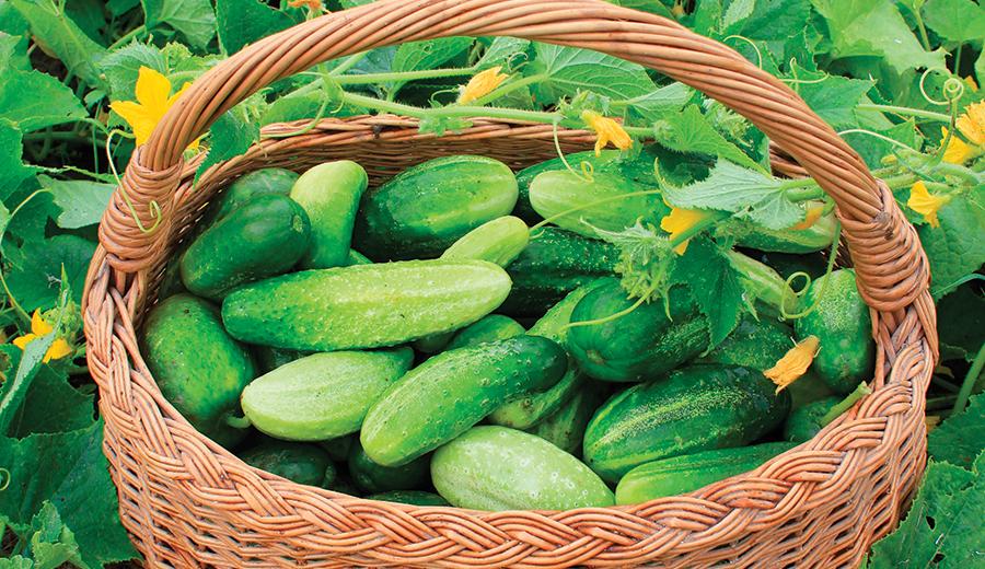 market crops cucumbers