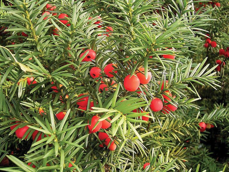 poisonous plants yew berries