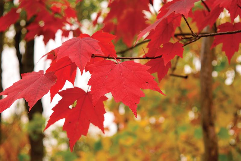 poisonous plants red maple