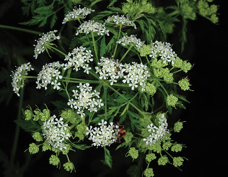 poisonous plants hemlock