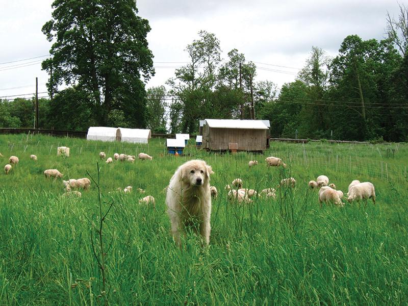 predators sheep dog
