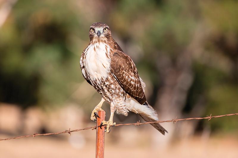 predators chicken hawk
