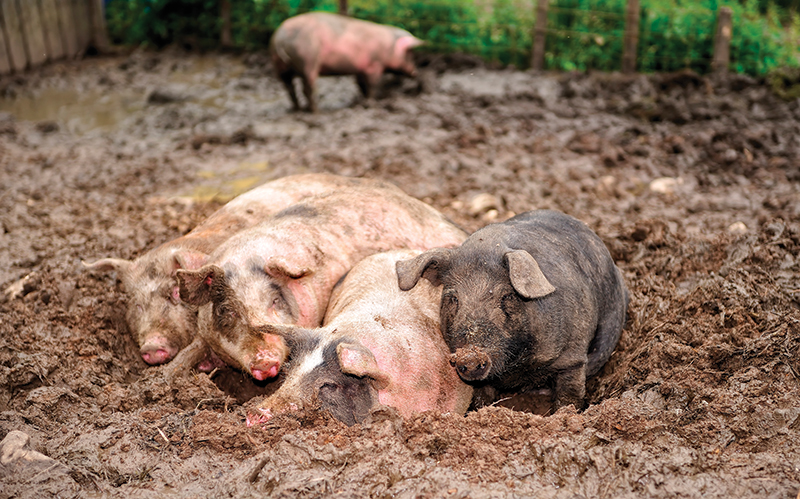 predators pigs