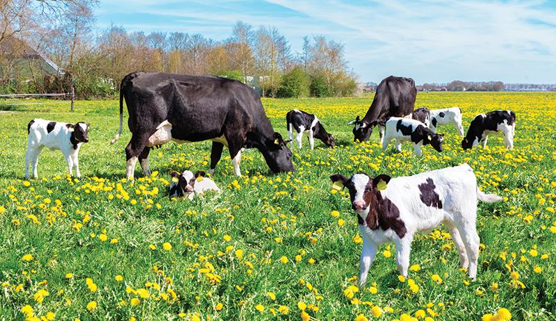 raising calves vaccination