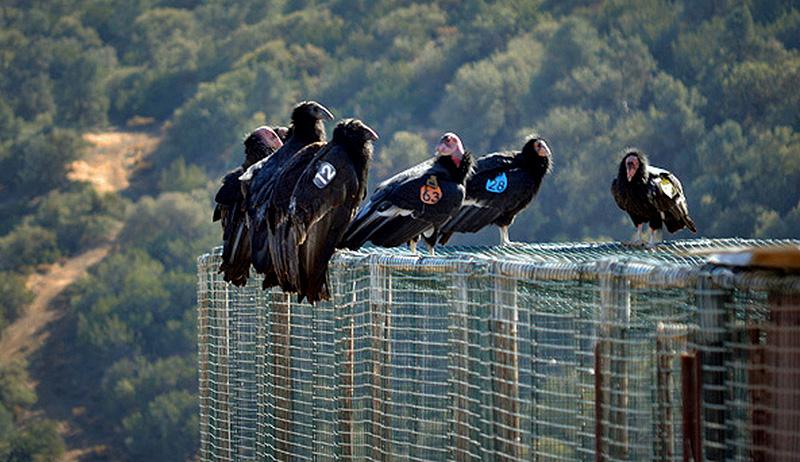 condors wild birds bird count