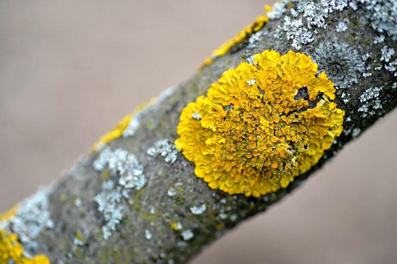 lichens yellow foliose