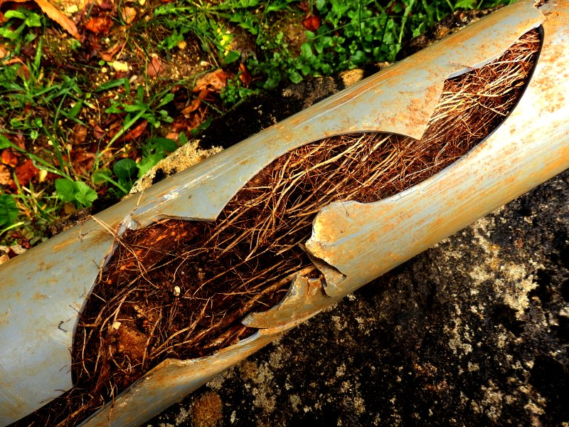trees roots split pipe