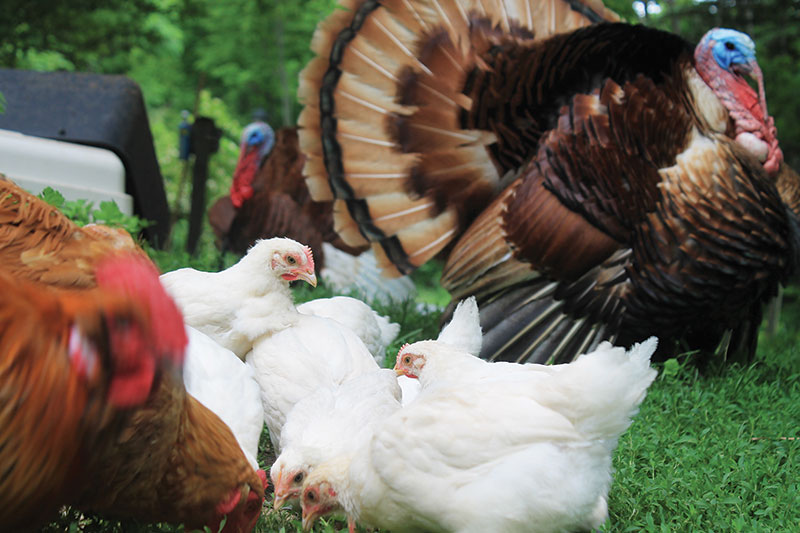 cold antler farm chickens