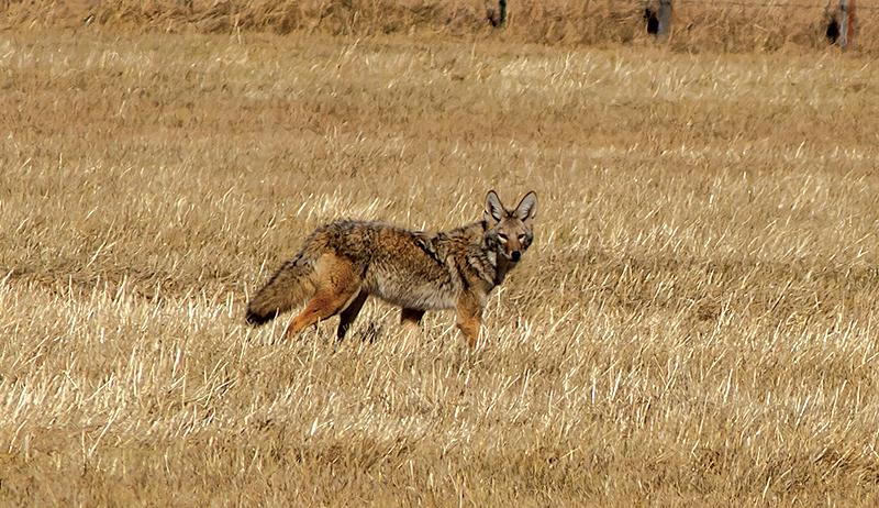 predators coyotes