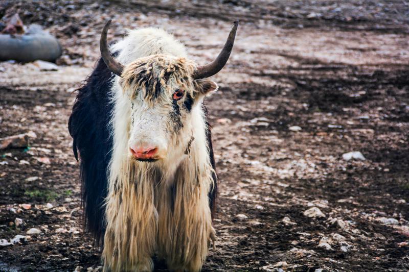 cattle ancestors