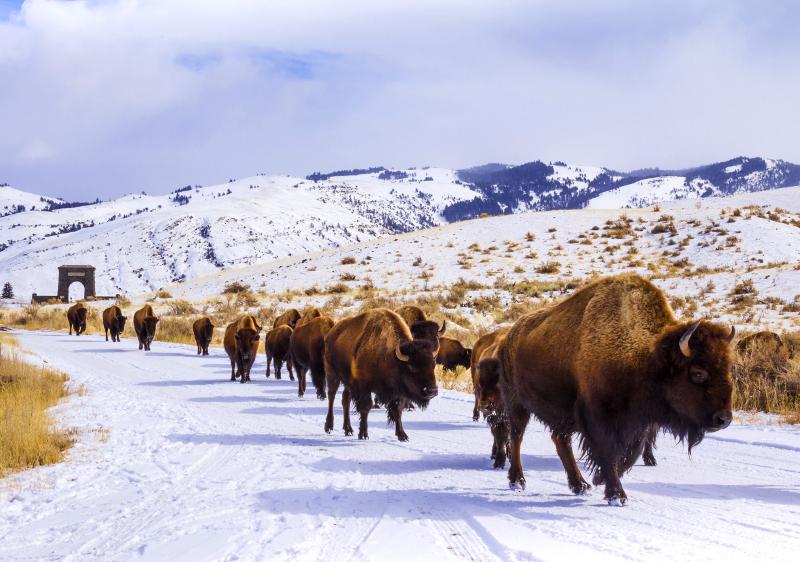 cattle ancestors bison