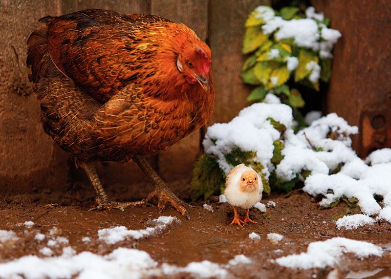 fall winter chickens