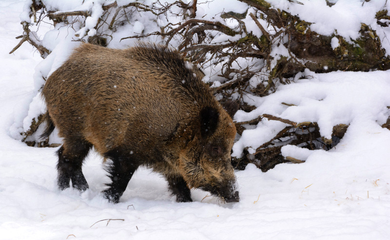 pig pigs domesticated wild winter