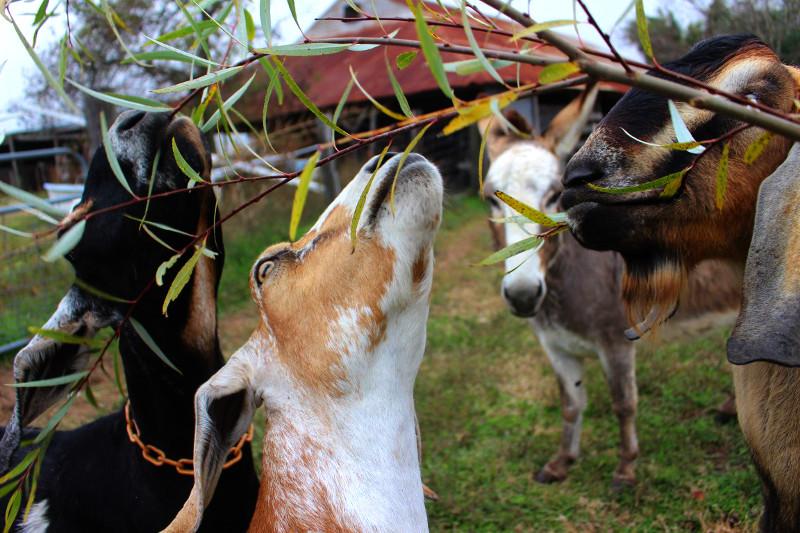 goat snacks willow