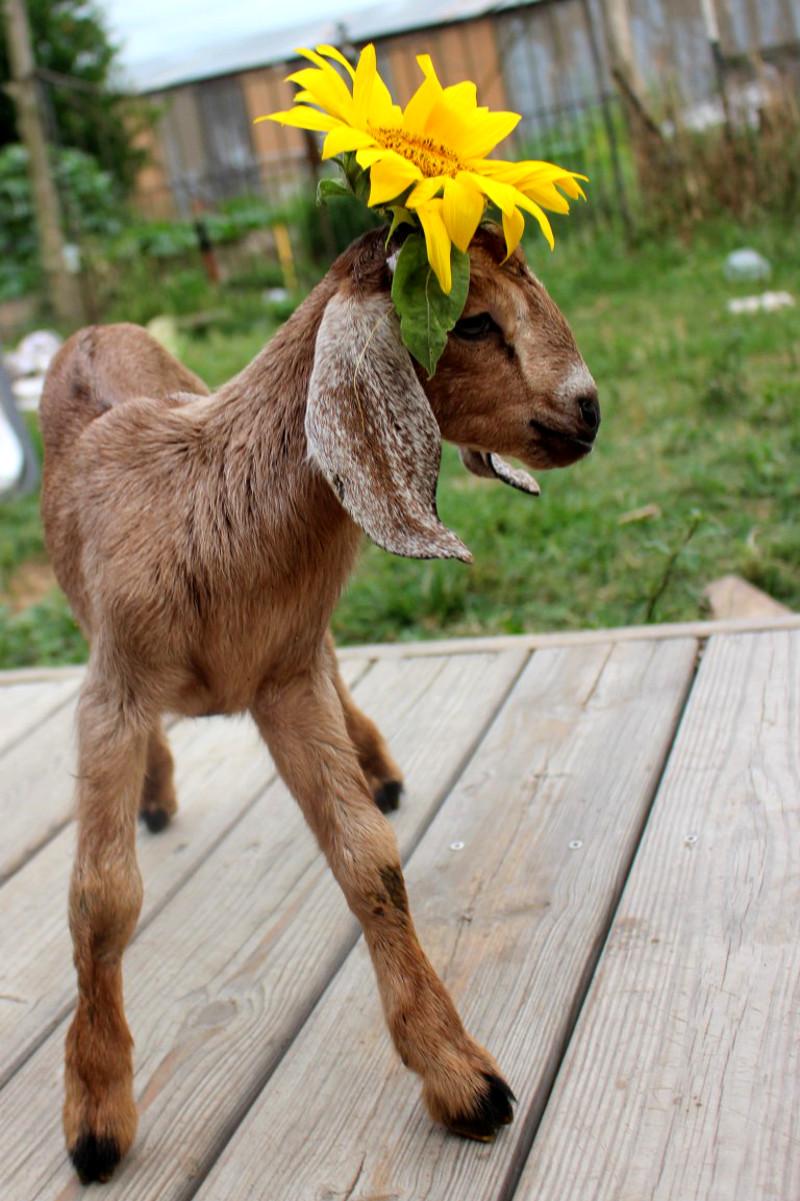 goat snacks sunflowers