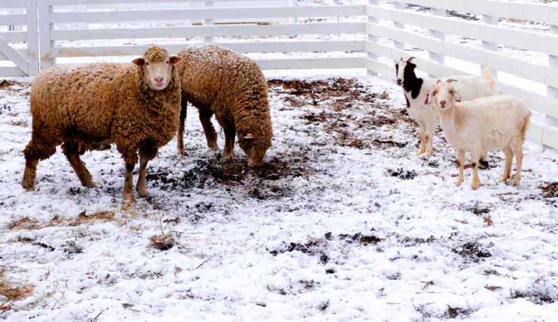 sheep goats wild