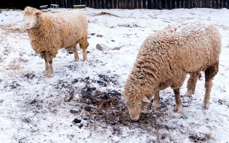 sheep snow wild
