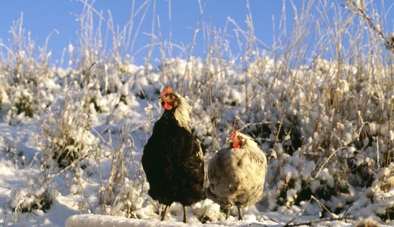 chickens winter adaptation wild