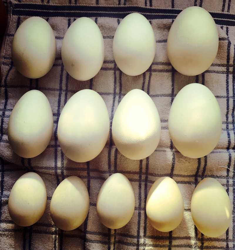 geese ducks eggs resolutions