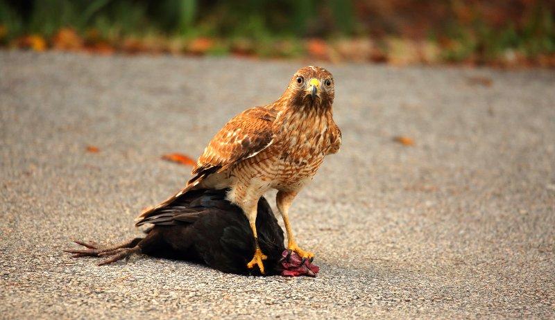 hawks chickens