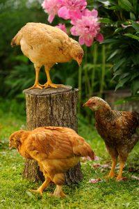 chicken ownership flock size