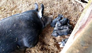 iron piglets anemia