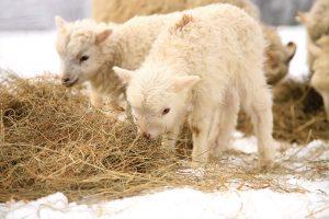 nutrition sheep lambs ewes hay