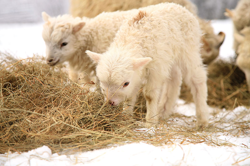 nutrition sheep lambs ewes