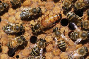 queen bee brood bees