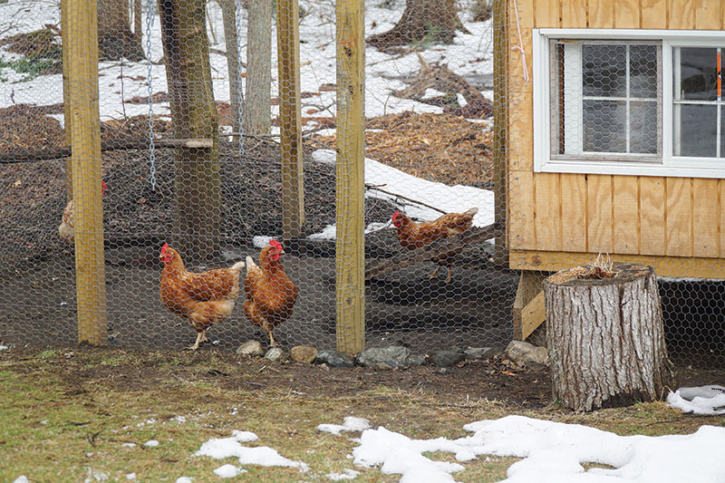 winter chickens protection safety