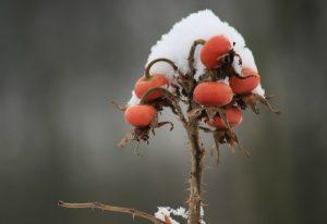 rose hips in snow