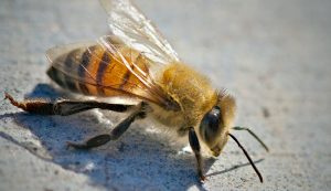 africanized honeybee killer bees