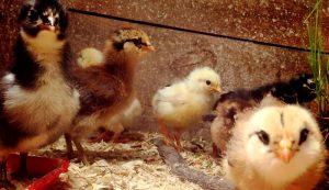 spring chicks goslings ducklings